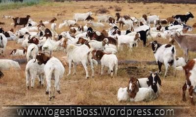 Google Goats